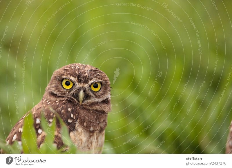 Adult Burrowing owl Athene cunicularia Green Animal Bird Brown Wild animal Feather Animal face Spotted Grassland Bird of prey Florida Owl Neon yellow