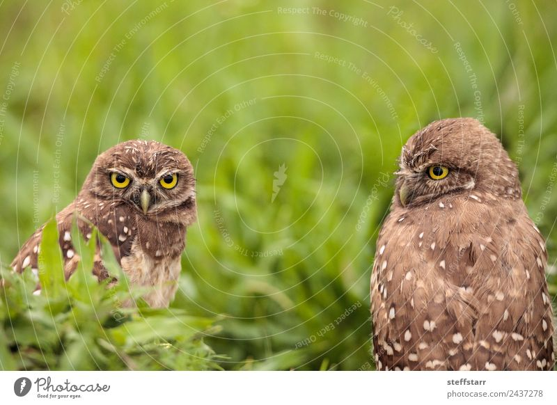 Adult Burrowing owl Athene cunicularia Green Animal Bird Brown Pair of animals Wild animal Feather Animal face Spotted Frustration Grassland Grouchy