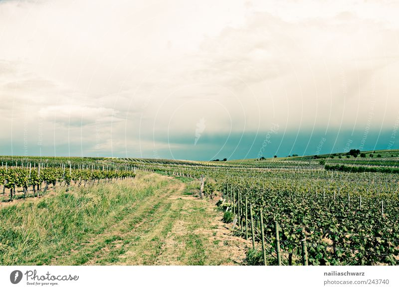 wine route Fruit Summer Agriculture Forestry Landscape Plant Earth Horizon Climate Weather Bushes Foliage plant Agricultural crop Grape harvest Bunch of grapes