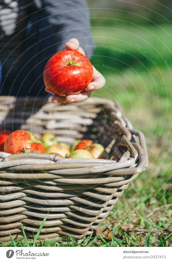 Happy kid playing with apples over wicker basket Child Human being Nature Man Green Hand Red Joy Adults Lifestyle Autumn Natural Boy (child) Small Garden