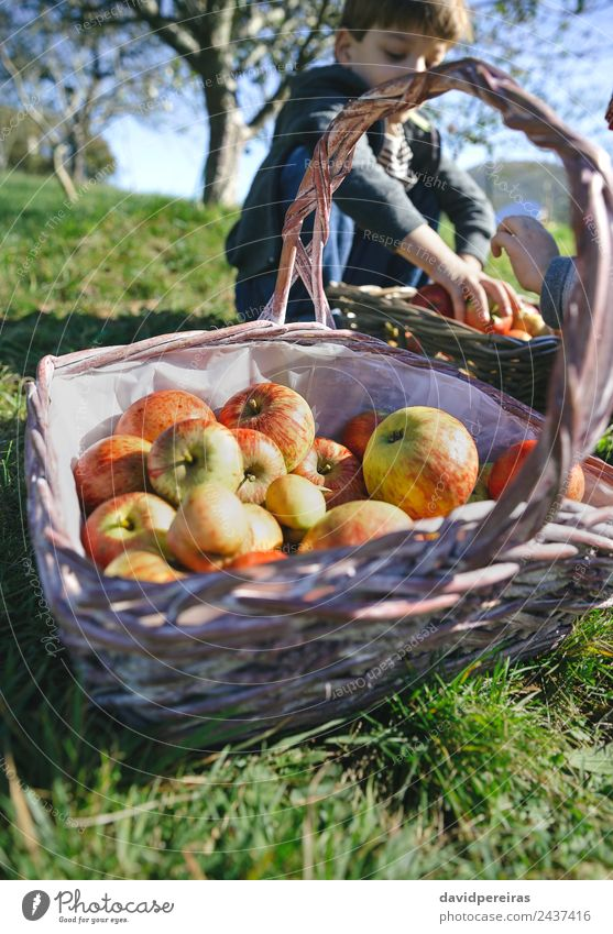 Wicker basket with fresh organic apples from harvest Fruit Apple Lifestyle Joy Happy Leisure and hobbies Garden Child Human being Boy (child) Woman Adults Man