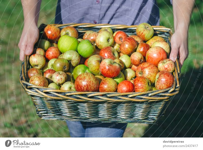 Woman hands holding wicker basket with organic apples Fruit Apple Lifestyle Joy Happy Beautiful Leisure and hobbies Garden Human being Adults Hand Nature Autumn