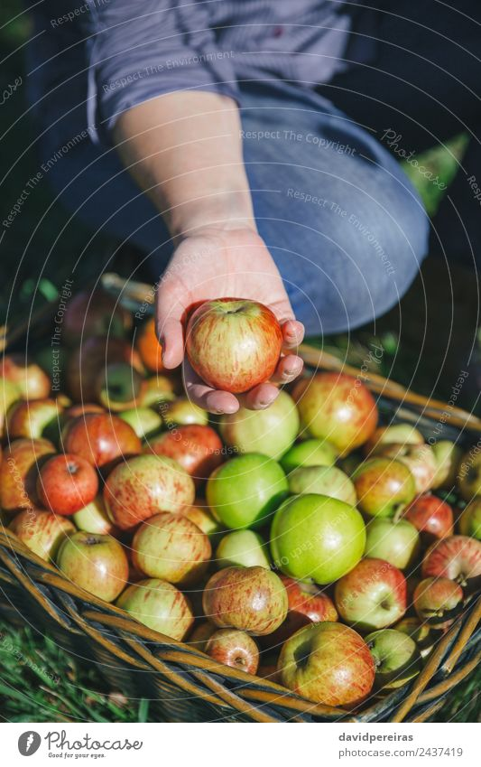 Woman hand showing organic apple from the harvest Fruit Apple Lifestyle Joy Happy Beautiful Leisure and hobbies Garden Human being Adults Hand Nature Autumn