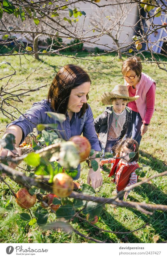 Woman picking apples from tree in a harvest Child Human being Nature Man Green Sun Hand Tree Red Joy Adults Lifestyle Autumn Family & Relations Happy
