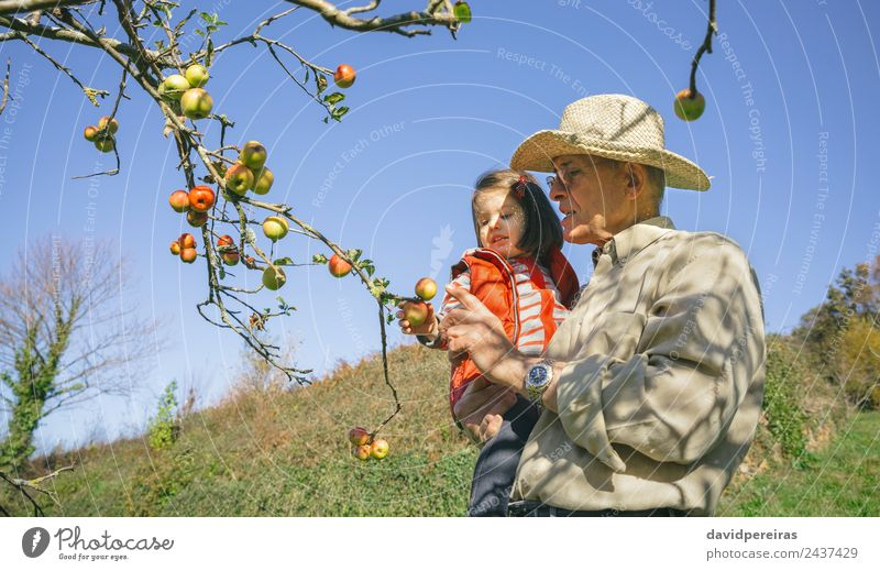 Senior man and little girl picking apples from tree Fruit Apple Lifestyle Joy Happy Leisure and hobbies Garden Child Human being Baby Woman Adults Man