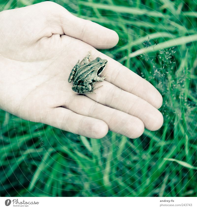 Frog on the hand. Environment Nature Animal Grass Wild animal 1 Small Green Environmental protection Grass frog Hand Wet Damp Amphibian Fingers Marsh
