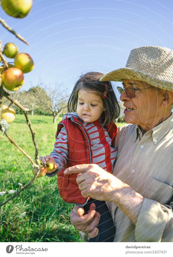 Senior man holding little girl picking apples in a sunny day Fruit Apple Lifestyle Happy Leisure and hobbies Garden Child Human being Baby Woman Adults Man