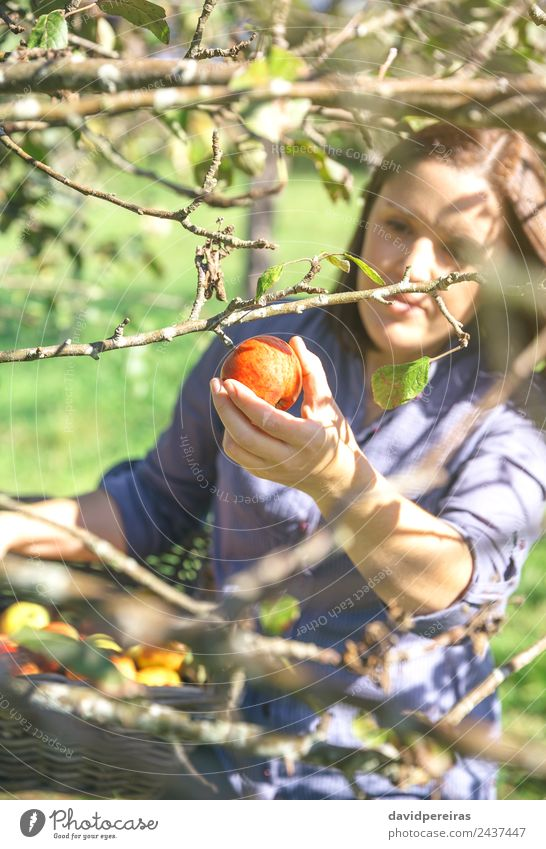 Woman hand picking red apple from the tree Fruit Apple Lifestyle Joy Happy Beautiful Leisure and hobbies Garden Human being Adults Hand Nature Autumn Tree