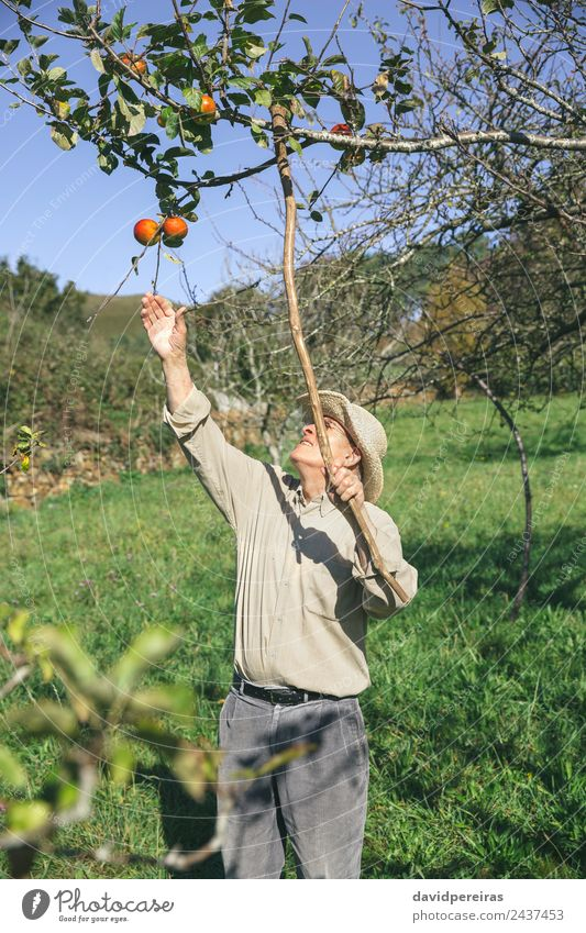 Senior man picking apples with a wood stick Fruit Apple Lifestyle Joy Happy Leisure and hobbies Garden Human being Man Adults Grandfather Hand Nature Autumn