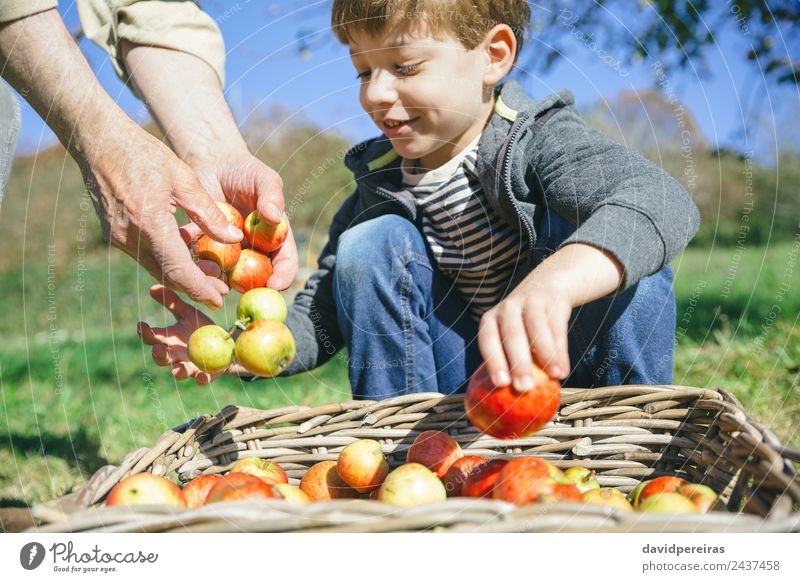 Kid and senior man hands putting apples in basket Child Human being Nature Man Green Hand Tree Red Joy Adults Lifestyle Autumn Natural Boy (child) Happy Small
