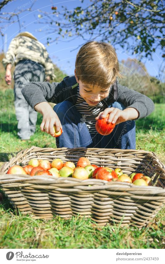 Happy kid putting apples in wicker basket with harvest Fruit Apple Lifestyle Joy Leisure and hobbies Garden Child Human being Boy (child) Man Adults Hand Nature