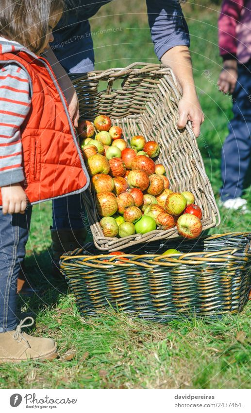 Woman putting apples in basket and little girl looking Fruit Apple Lifestyle Joy Happy Beautiful Leisure and hobbies Garden Child Human being Adults