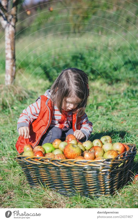 Little girl looking apples in basket with harvest Woman Child Human being Nature Green Hand Tree Red Joy Adults Lifestyle Autumn Natural Family & Relations