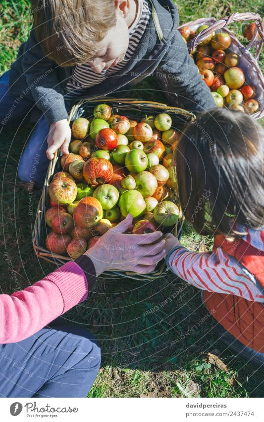 Children and senior woman putting apples inside of baskets Fruit Apple Lifestyle Happy Leisure and hobbies Garden Human being Boy (child) Woman Adults Man