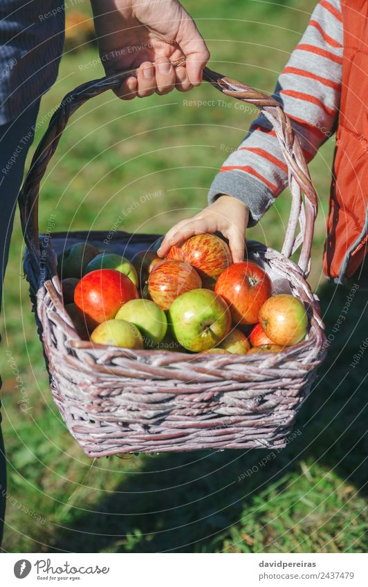 Girl hand picking a fresh apple from wicker basket Woman Human being Nature Beautiful Green Hand Red Joy Adults Lifestyle Autumn Natural Happy Small Garden