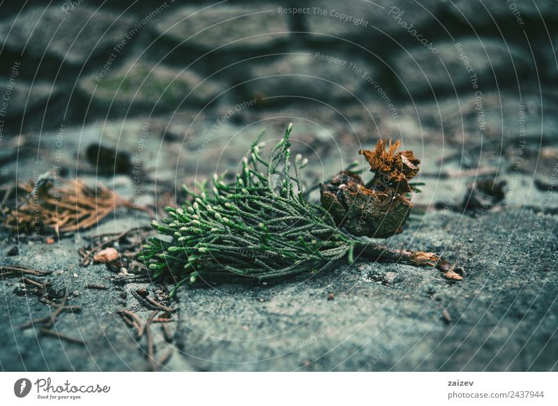 leaves and round fruit of cupressus sempervirens on the stone floor Beautiful Mountain Garden Decoration Environment Nature Plant Earth Autumn Tree Leaf