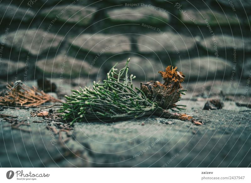 leaves and round fruit of cupressus sempervirens on the stone floor Beautiful Mountain Garden Decoration Nature Plant Earth Autumn Tree Leaf Park Rock Stone