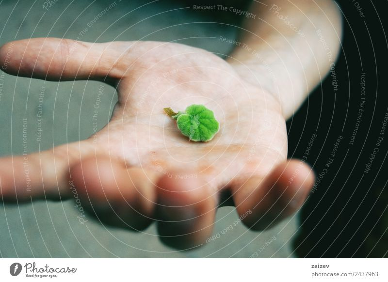 green senecio leaf in person's hand macro closeup in nature Design Human being Masculine Boy (child) Young man Youth (Young adults) Man Adults Hand 1