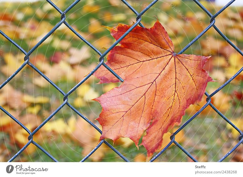 Wrong report. First fall paper. Environment Nature Plant Autumn Leaf Autumn leaves Maple leaf Rachis Garden Meadow Green Orange End Net Network Get stuck