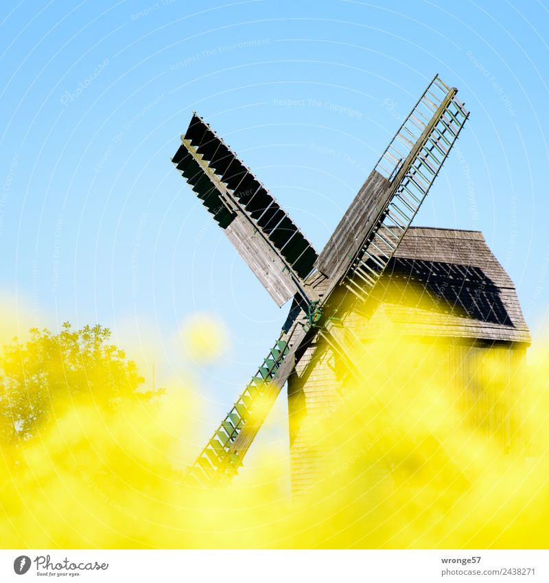 Windmill behind yellow rape blossoms III Wind energy plant Monument Old Town Blue Yellow Oilseed rape flower Canola field Mill Blue sky Cloudless sky