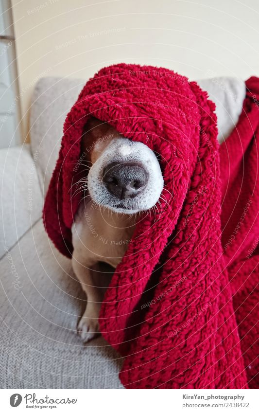 Funny face of cute Jack Russell dog wrapped up in red blanket, Happy Illness Relaxation Winter Sofa Friendship Animal Warmth Pet Dog Sleep Sit Small Cute Under