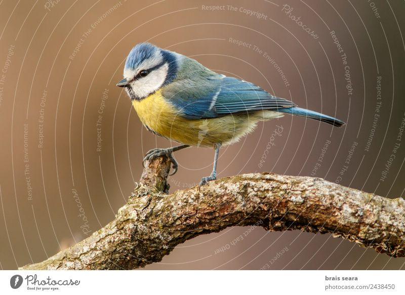 Eurasian Blue Tit Science & Research Biology Ornithology Biologist Environment Nature Animal Earth Tree Wild plant Forest Wild animal Bird Tit mouse 1 Wood