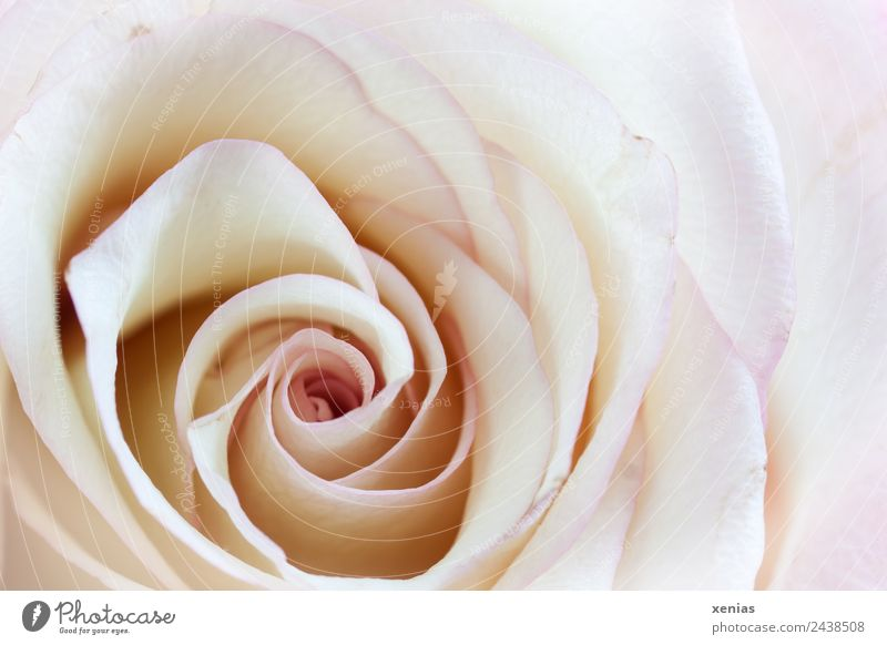 Macro shot of a rose pink spring Summer flowers bleed Bright Round Yellow Violet White Love Romance Fragrance already Spiral Close-up Detail