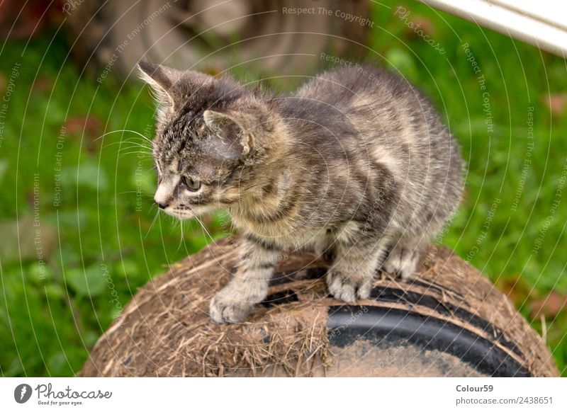 Cute kitten Summer Nature Animal Pelt Pet Cat Animal face Paw 1 Baby animal Observe Going Wait Authentic Curiosity Gray Emotions Contentment