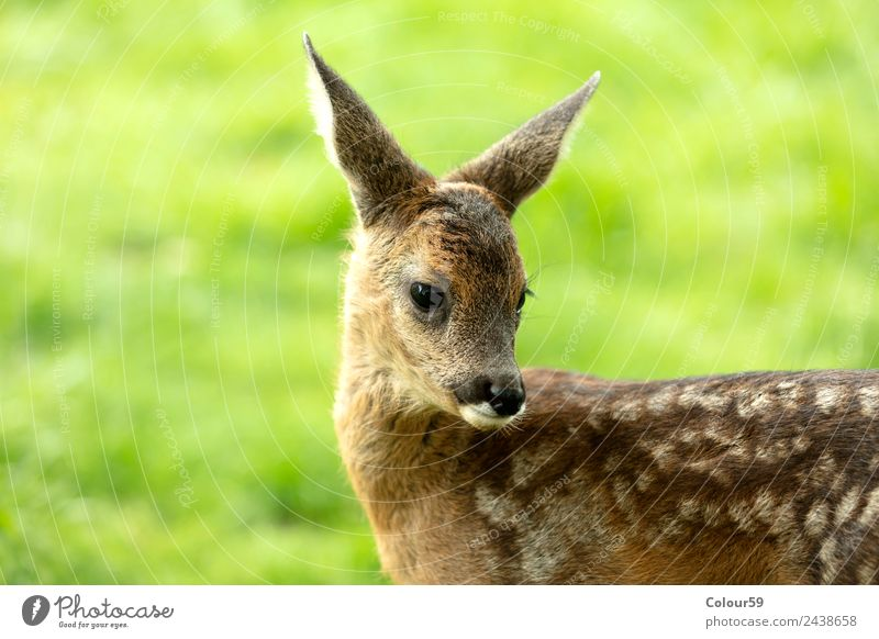 fawn Beautiful Summer Baby Nature Animal Spring Grass Park Meadow Field Wild animal 1 Baby animal Stand Cute Brown Green Deer youthful Mammal Bambi odocileus