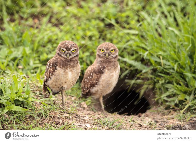 Family with Baby Burrowing owls Athene cunicularia Parents Adults Mother Family & Relations Animal Wild animal Bird Animal face 2 Small Brown dad Owlet young