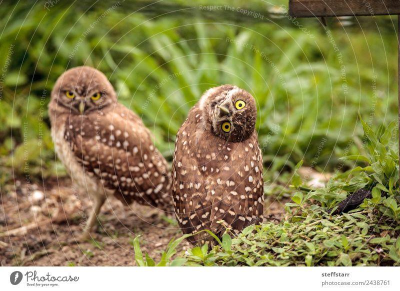 Funny Burrowing owl Athene cunicularia Grass Animal Wild animal Bird Animal face 1 Brown head tilt Strange Owl Bird of prey raptor Marco Island Florida