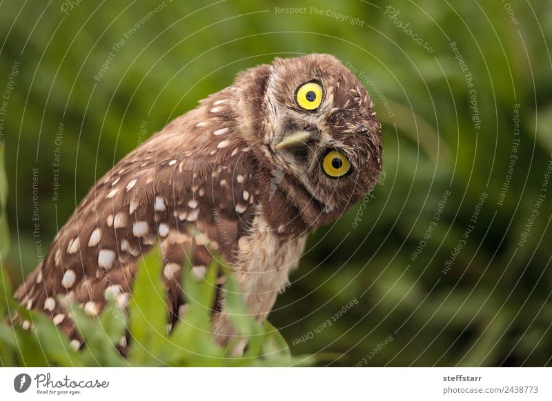 Funny Burrowing owl Athene cunicularia Animal Yellow Bird Brown Wild animal Feather Tilt Animal face Strange Humor Spotted Grassland Bird of prey Florida Owl