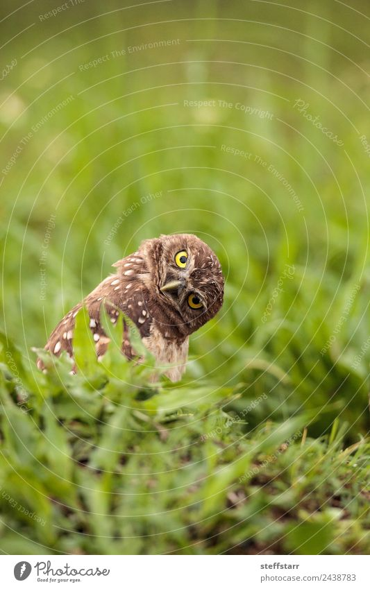 Funny Burrowing owl Athene cunicularia Animal Wild animal Bird Animal face 1 Brown Yellow head tilt Strange Owl Bird of prey raptor Marco Island Florida