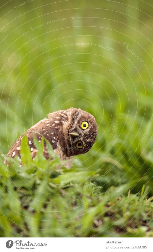 Funny Burrowing owl Athene cunicularia Animal Grass Bird Brown Wild animal Feather Tilt Animal face Strange Humor Spotted Grassland Bird of prey Florida Owl