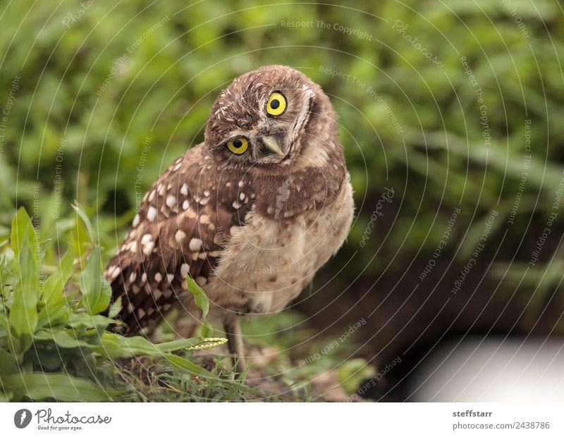 Funny Burrowing owl Athene cunicularia Animal Wild animal Bird Animal face Wing 1 Baby animal head tilt Strange Owl Bird of prey raptor Marco Island Florida