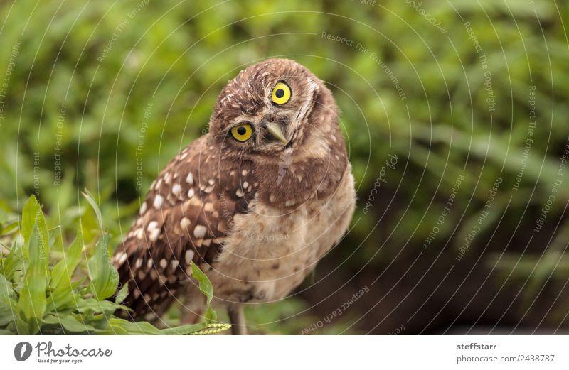 Funny Burrowing owl Athene cunicularia Grass Animal Wild animal Bird Animal face Wing 1 head tilt Strange Owl Bird of prey raptor Marco Island Florida