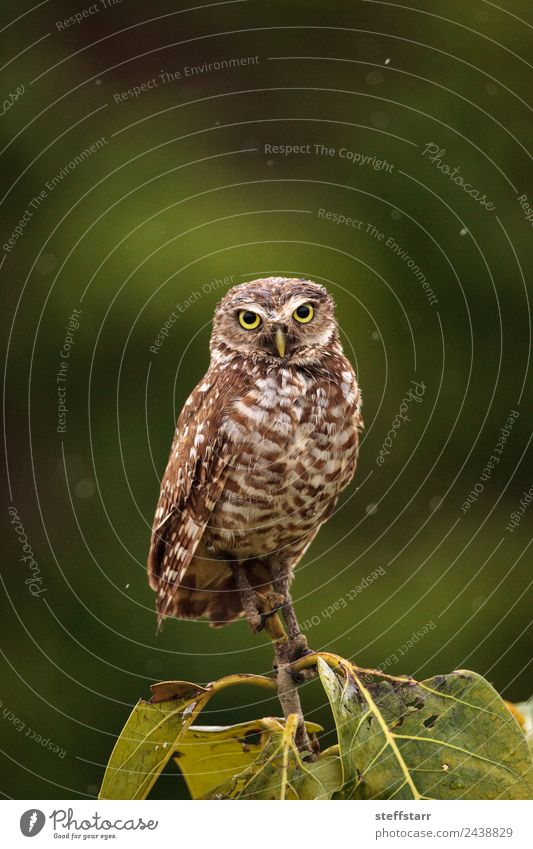 On a small tree, an Adult Burrowing owl Athene cunicularia Tree Animal Wild animal Bird Animal face Wing 1 Brown Yellow Gold Green Owl Bird of prey raptor