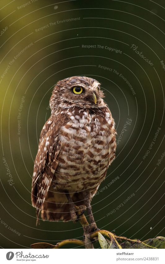 On a small tree, an Adult Burrowing owl Athene cunicularia Green Tree Animal Yellow Bird Brown Gold Wild animal Feather Animal face Spotted Grassland