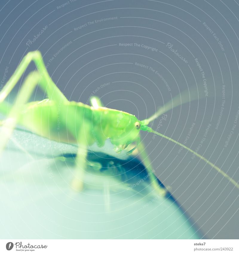 grass green 1 Animal Green Locust Flashy Feeler Insect Neon Colour photo Macro (Extreme close-up) Deserted Copy Space top Shallow depth of field
