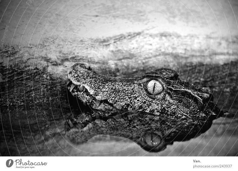 crocofant Nature Animal Water Wild animal Animal face Zoo Crocodile Alligator Reptiles 1 Observe Lie Exotic Wet Black White Reflection Eyes Set of teeth Muzzle