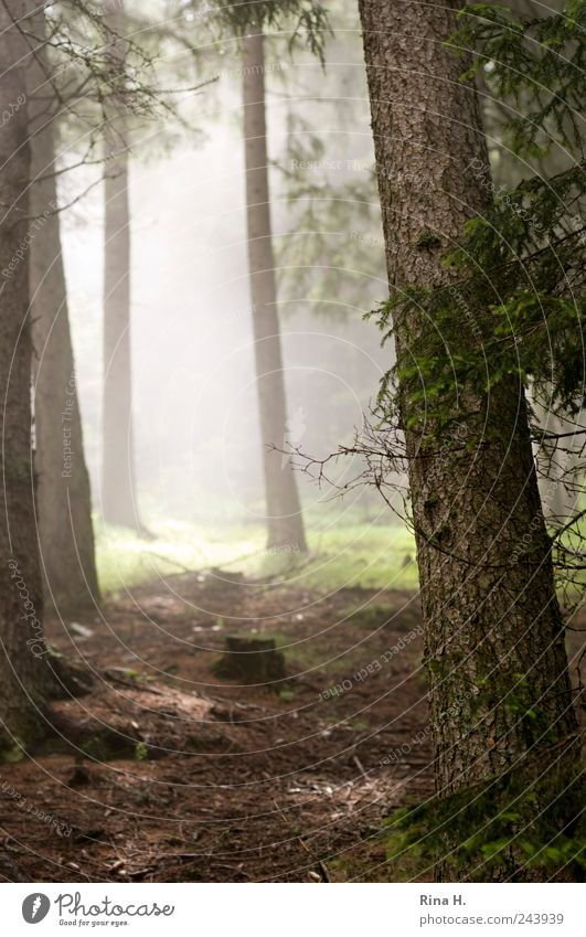 Nature Tree Summer Forest Landscape Moody Bright Fog Earth Fir tree Illuminate Damp Beautiful weather Haze Woodground