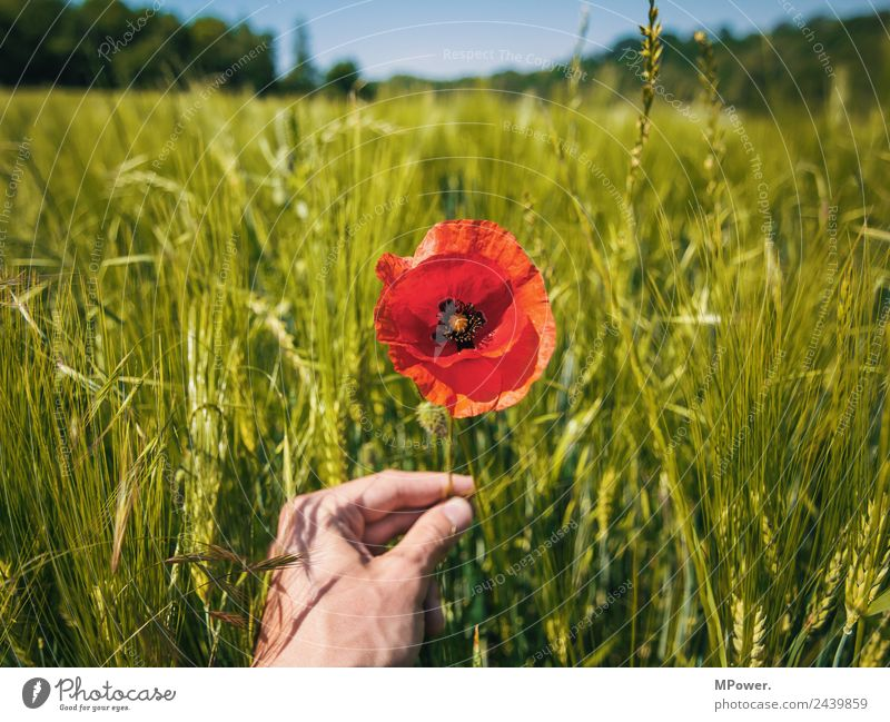 Poppy flower in cornfield Hand Environment Nature Landscape Plant Animal Beautiful weather Flower Blossom Agricultural crop Field Poppy blossom Stop Agriculture