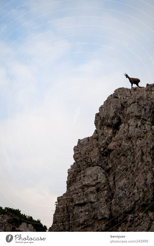 King of the Hill Nature Landscape Sky Clouds Summer Rock Alps Animal Wild animal 1 To hold on Looking Blue Brown Bravery Power Might Chamois Dolomites Mountain