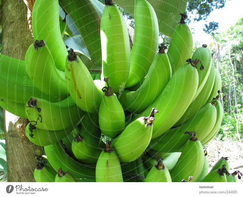 banana Banana Bushes Green Brazil Detail Nutrition Mature