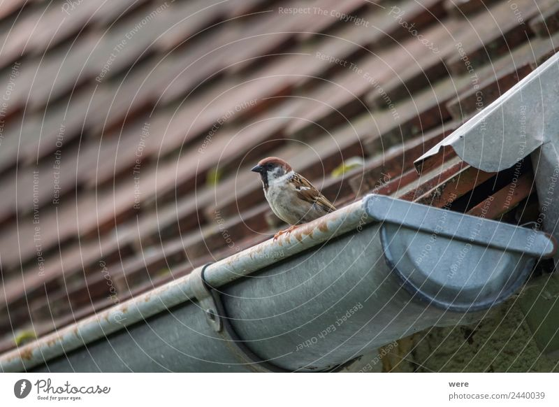 A sparrow sits on a gutter Nature Animal Wild animal Bird 1 Love Sparrow couple copy space feather fence fence post fly nobody old old wooden fence roof