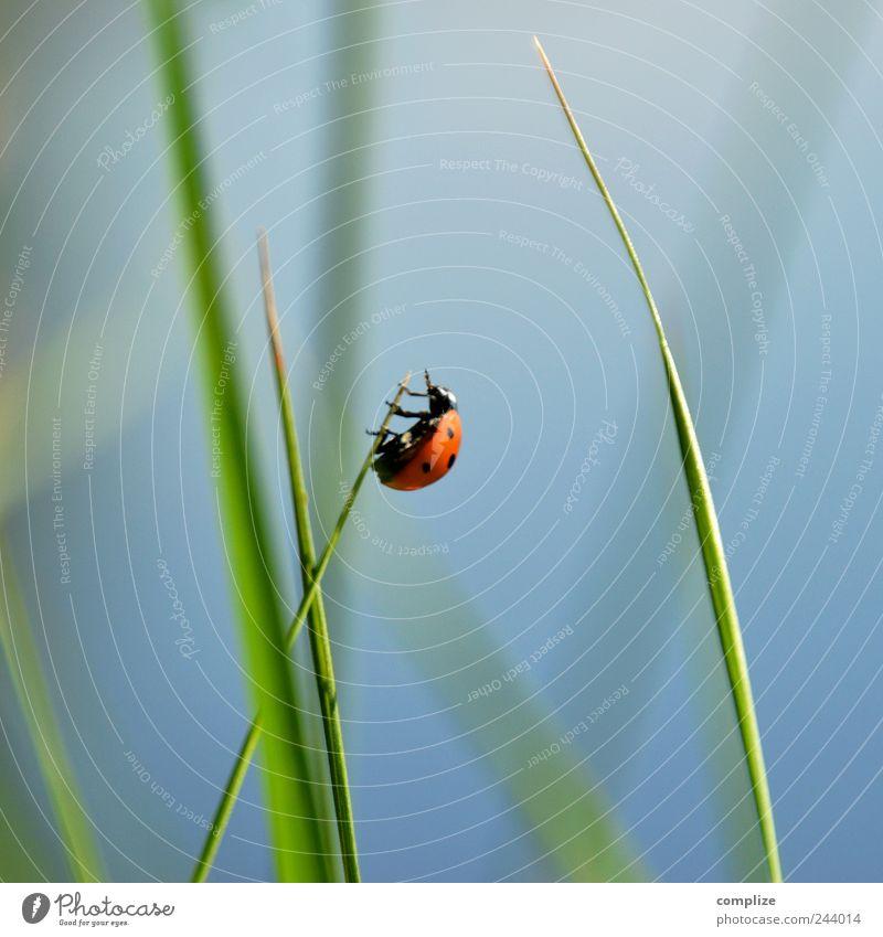 I feel so High! Calm Environment Nature Sky Cloudless sky Spring Summer Grass Bushes Leaf Garden Park Meadow Animal Beetle 1 Crawl Blue Green Success Power