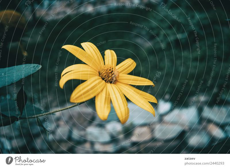 a macro of an isolated yellow flower of helianthus tuberosus Beautiful Medication Summer Mountain Garden Environment Nature Plant Spring Flower Leaf Blossom