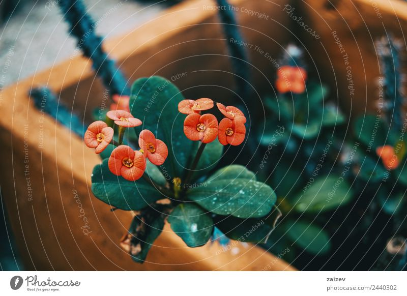 small red flowers of euphorbia milii Beautiful Summer Garden Climbing Mountaineering Nature Plant Flower Bushes Leaf Blossom Pot plant Park Meadow Field Small