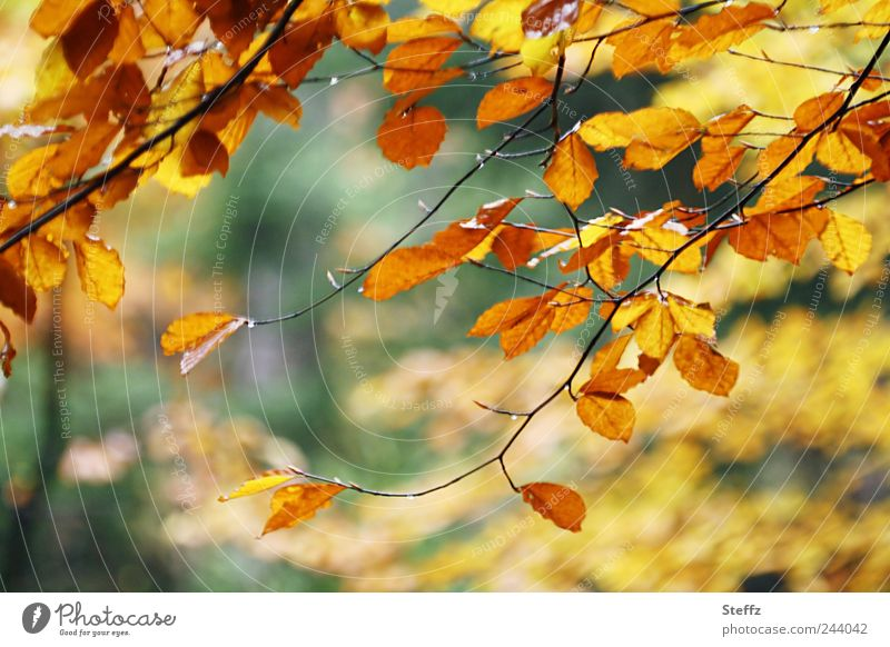 Nature Plant Colour Tree Leaf Forest Yellow Autumn Branch Beautiful weather Twig Autumn leaves Autumnal November Autumnal colours October