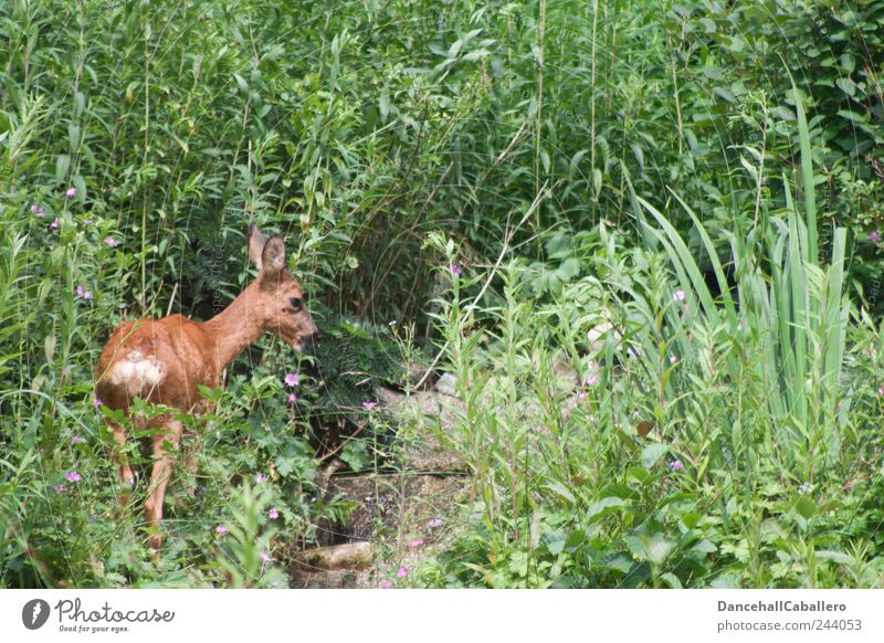 Garden Safari I Nature Grass Bushes Park Hill Animal Wild animal 1 Stand Free Happy Cute Love of animals Serene Calm Appetite Loneliness Safety Roe deer Fawn